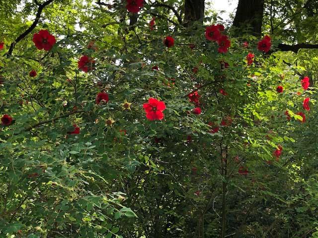 Rose Moyseii Geranium